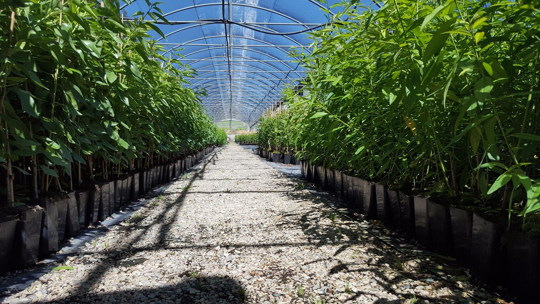 Vivero arnal un vivero con especializacion en arboles for Viveros de arboles frutales en concepcion