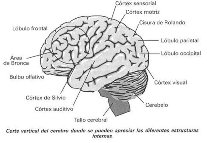Famoso Anatomía Del Cerebro Viñeta - Anatomía de Las Imágenesdel ...